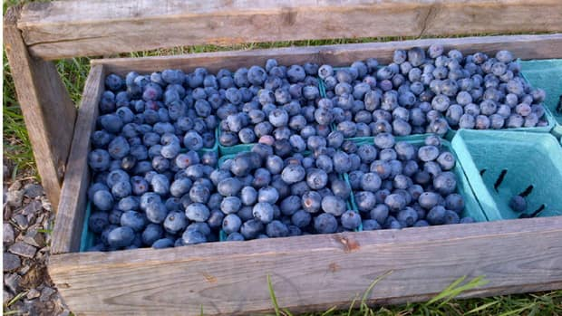 High bush blueberries could produce a record crop this year.