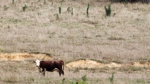 The livestock industry is being hit hard by the drought. A cow feeds in a drought-damaged pasture as temperatures climb to over 100 F (38 C) in Jasper, Indiana, July 24. Weather forecasts for August indicate more heat is on the way.