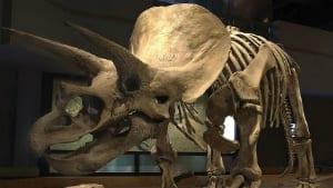 Uno scheletro triceratopo in mostra al Museo Reale Tyrrell.