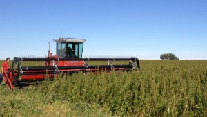 The preliminary estimate for this year's hemp crop is 8,000 hectares.