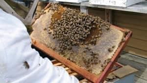 Healthy bee colonies like this one could be threatened by a parasitic mite recently discovered in a Thunder Bay yard.