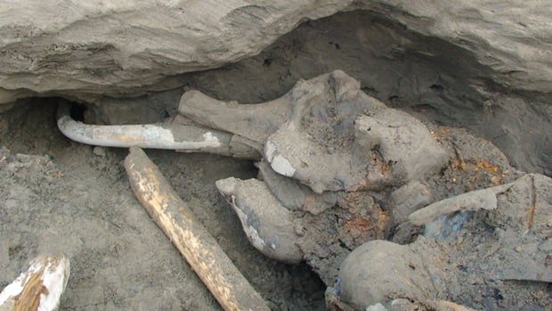 Russian scientists say the carcass of a 16-year-old mammoth that was excavated on the North Siberian Taimyr peninsula is one of the best-preserved bodies of a grown mammoth ever found.