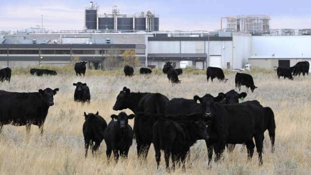 Cattle in pasture beside XL Foods' Lakeside Packers plant in Brooks, Alberta on Monday, Oct. 1st.