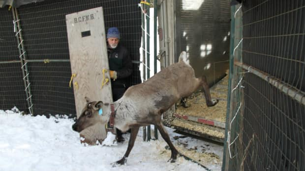 A caribou exits a truck into the temporary holding pen prior to its release into the Purcell Mountains in March 2012.
