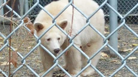 Rare Kermode 'spirit bear' moved to Kamloops wildlife park
