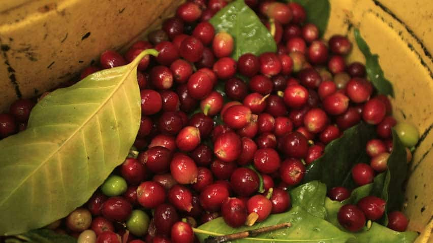 Arabica beans go into 70 per cent of the world's coffee but the plants are highly vulnerable to climate change, pests and disease.