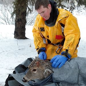 Thunder Bay firefighter Dan Fotheringham warms up the rescued doe with blankets.