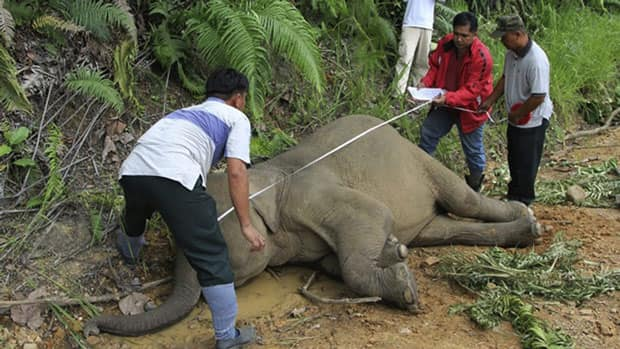 Wildlife officials investigate the death of an elephant at the Gunung Rara Forest Reserve in Sabah, Malaysia. Thirteen endangered Borneo pygmy elephants have been found dead in the Malaysian forest under mysterious circumstances.