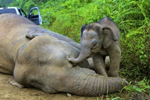 A three-month-old elephant calf tries to awake its dead mother at the Gunung Rara Forest Reserve.