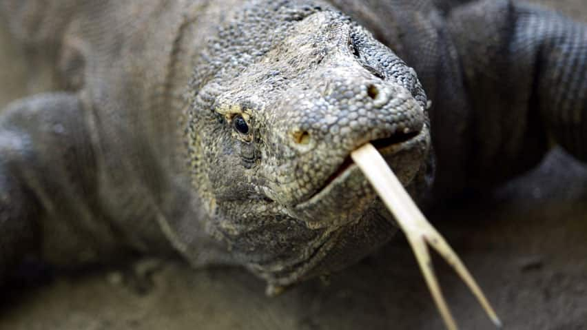 Komodo dragons have a fearsome reputation worldwide because their shark-like teeth and poisonous saliva can kill a person within days of a bite.