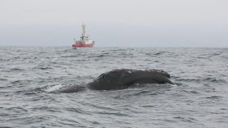 Rare right whale spotted off Haida Gwaii