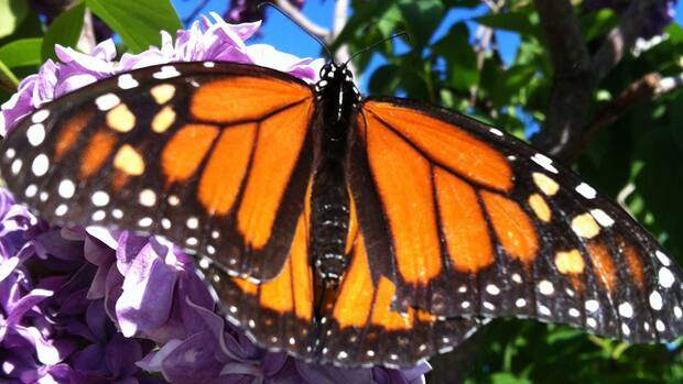 Where Have All Monarchs Gone >> Where Have All The Monarch Butterflies Gone Cbc News