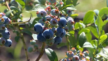 Blueberry bumper crop expected by B.C. farmers