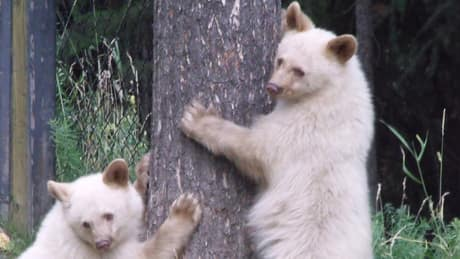 Garbage-addicted rare white bear may have to be put down