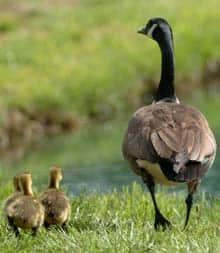 geese_canada_cp_7537455.jpg