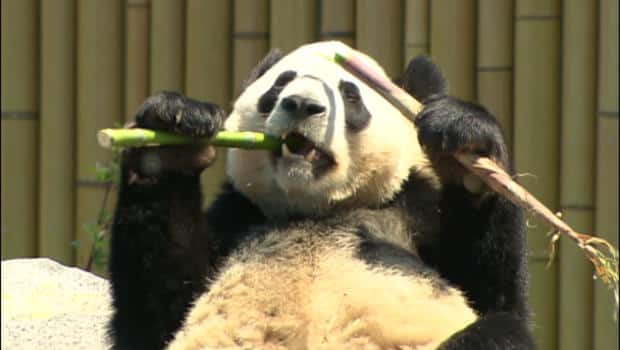 Animals - Panda snacking