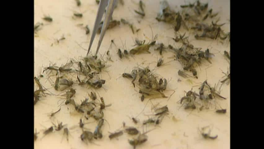 Residents in Winnipeg, the mosquito capital of Canada, are enjoying the outdoors with far fewer bug bites than usual