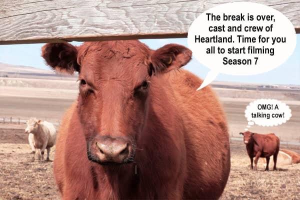 A talking cow