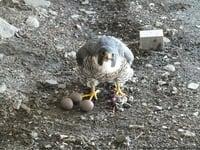 falcon_jpg.jpeg