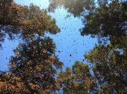 Butterfly migration flying into trees 2013.jpg