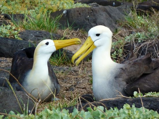 Waved albatross pair Galapagos 2014 Dee Keating photo.JPG