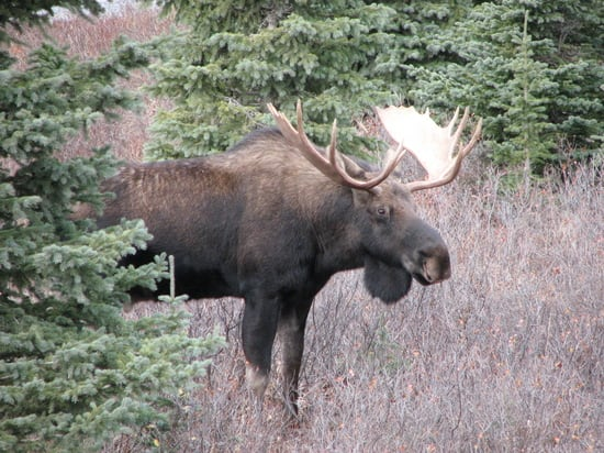Moose Kananaskis bull by Brian Keating.JPG