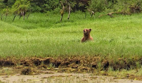 Grizzly in the Sedge Kutz BC May 2016.JPG
