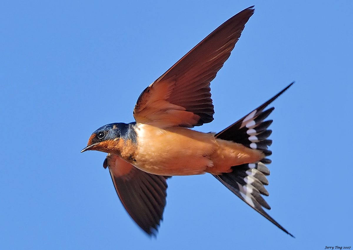 CBC.ca | In Town and Out | 100th Bird Tweet - Barn Swallow