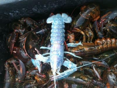 blue lobster 2.JPG
