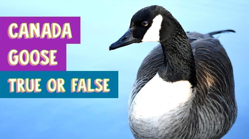 Canada Goose — True or False quiz