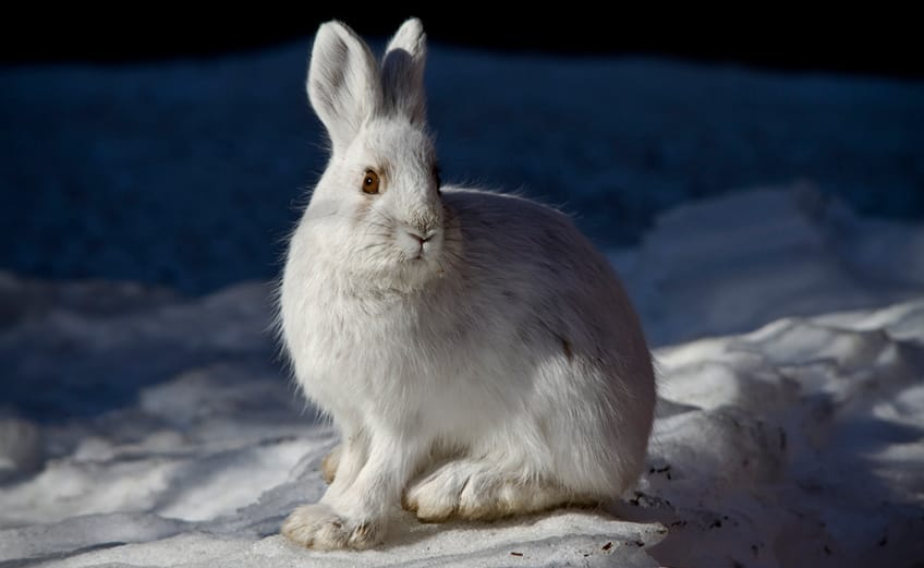 snowshoe hare with furry feet