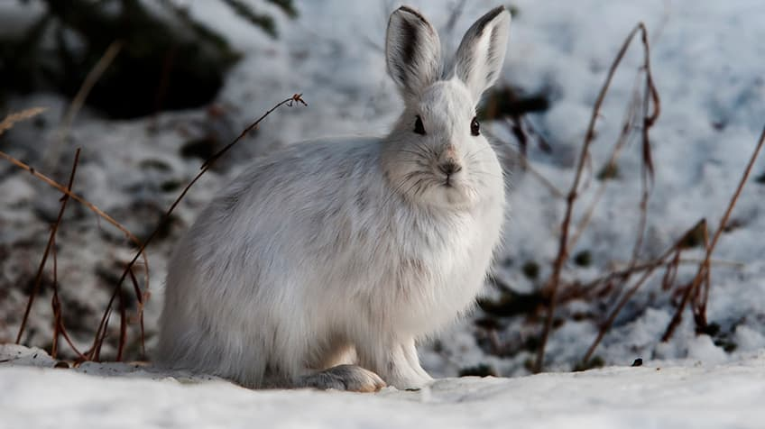 white snowshoe hare