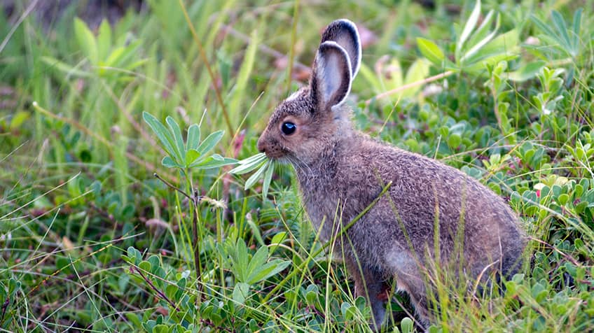 snowshoe hare eating