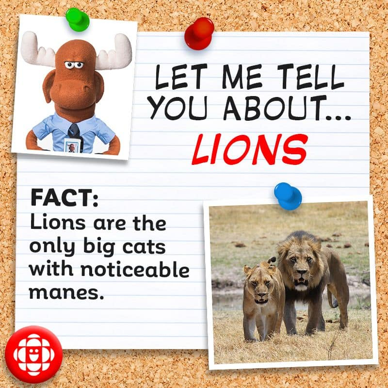 Lions are the only big cats with noticeable manes.