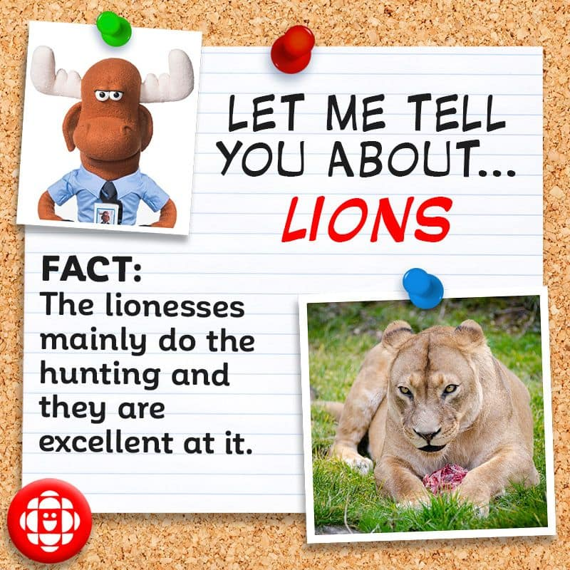 Lions are excellent hunters.