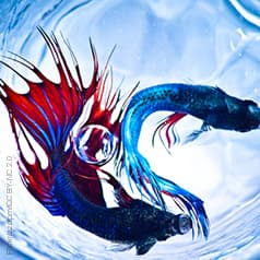 A Siamese fighting fish keeps me on me toes