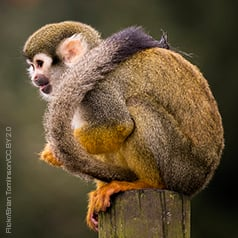 A monkey on a stool is cool