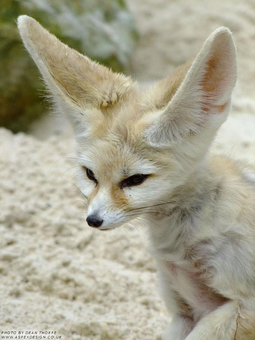 Kit Fox Facts For Kids