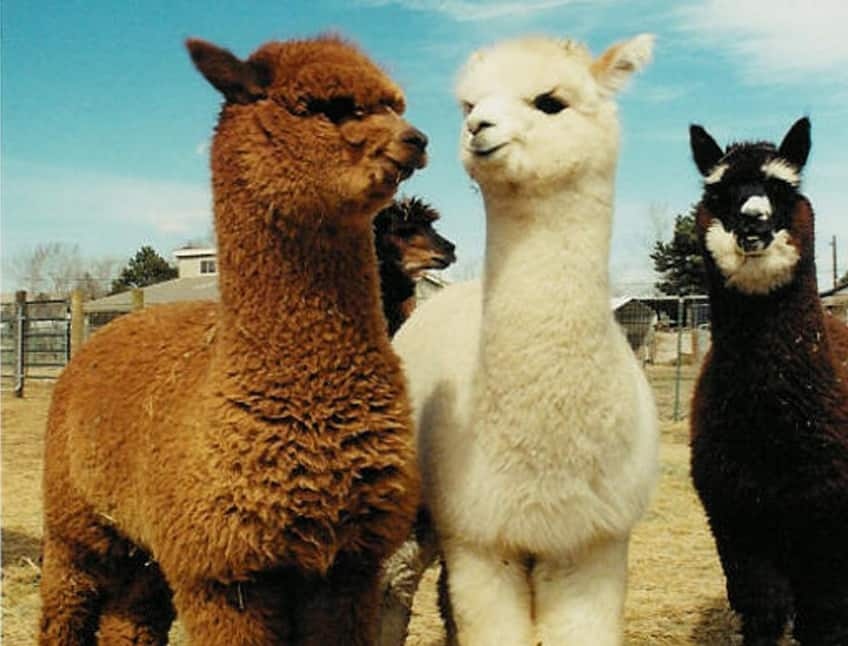 Image result for 2 alpaca