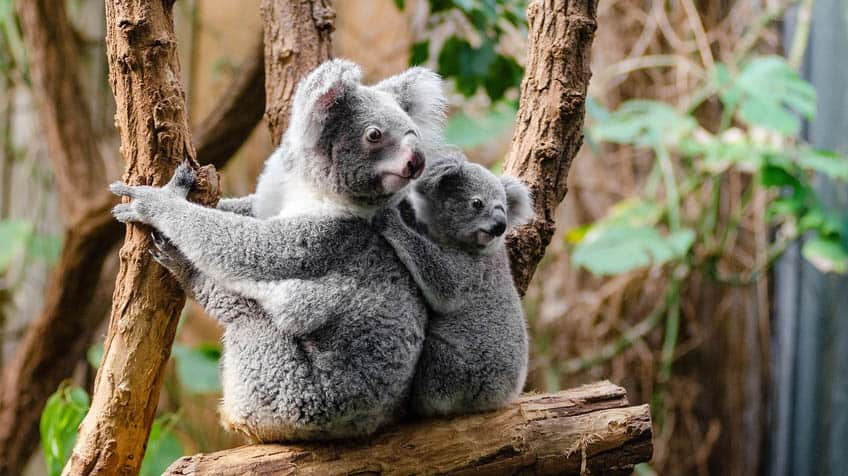 A koala with its baby