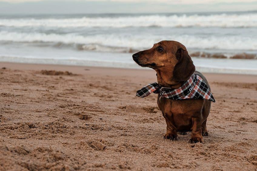 a little brown Schnauzer wearing a checkered neck scarf