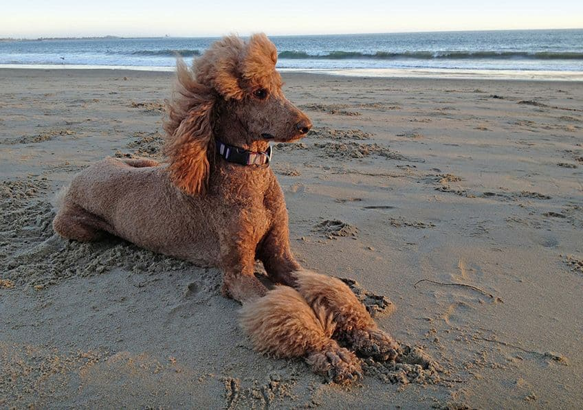 a brown poodle sitting in the sunset on the beach