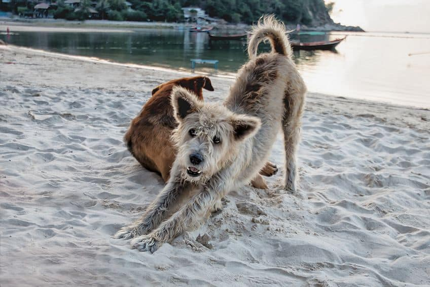 a scruffy grey dog on the beach gets in a good stretch
