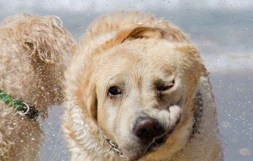 A very wet labrador shaking his face from side to side to get dry