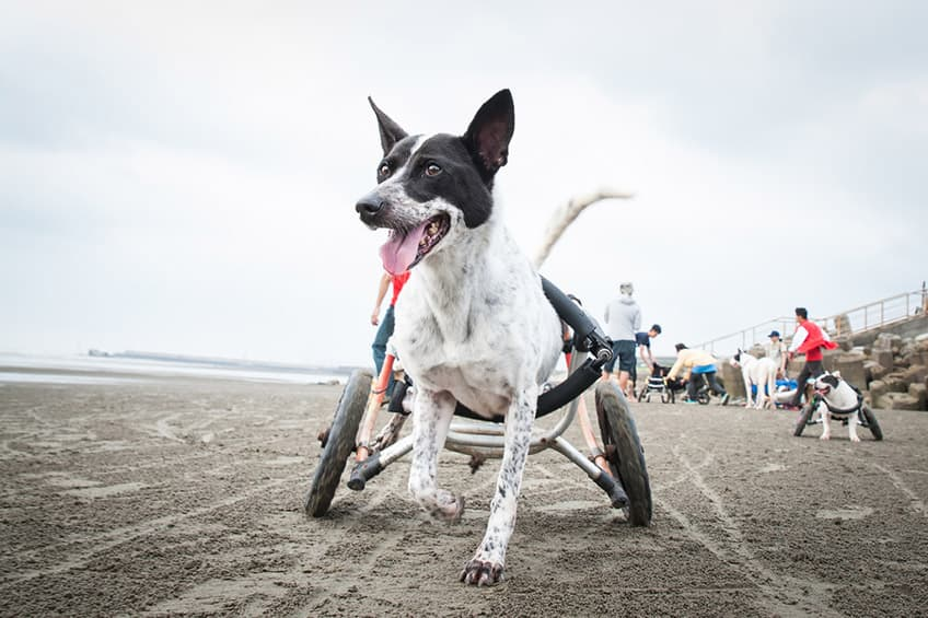 a very happy small dog runs on the sand in his dog wheelchair