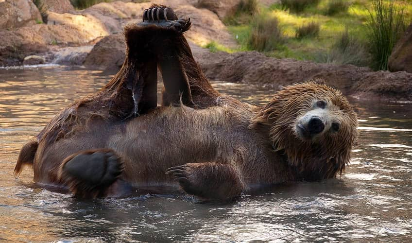A brown bear lying in some water with a foot in the air that it's grabbing with its paw