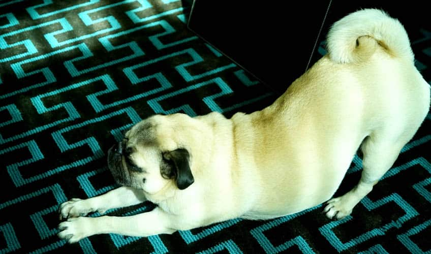A pug stretching in a downward dog position
