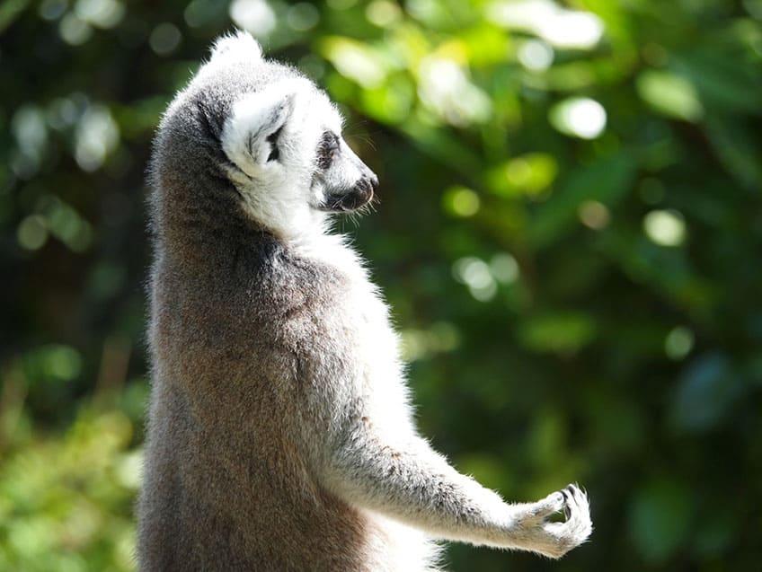 A lemur that looks like it's meditating