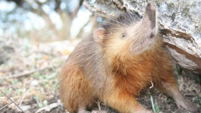 The hispaniolan solenodon, has its nose turned up as it hangs out by a rock.