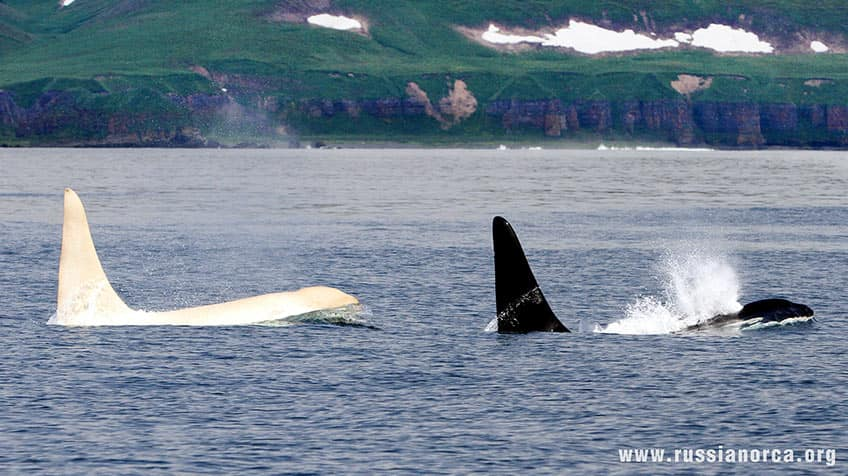 An albino orca swims alongside another orca.